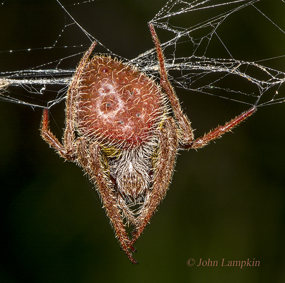 Spider ID request - Eriophora ravilla