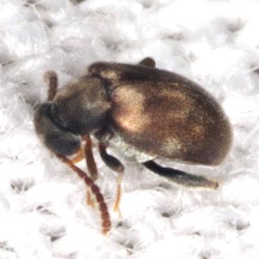 Ant-like Leaf Beetle - Aderus brunnipennis
