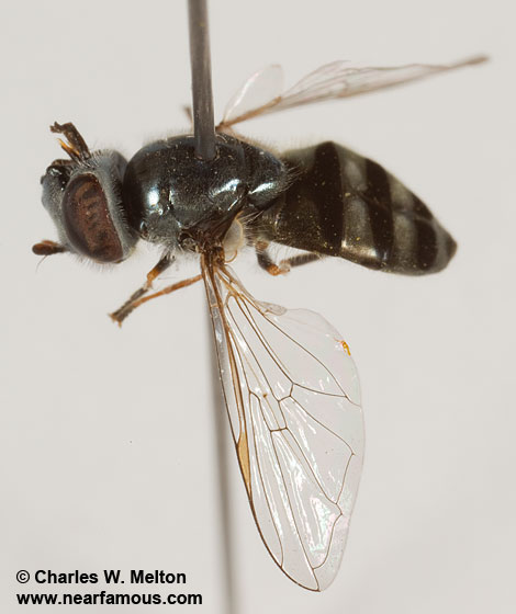 Syrphid - Platycheirus - female