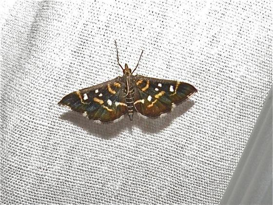 Black Moth - Diathrausta