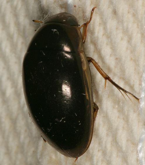 Water Beetle 2010 - Tropisternus lateralis
