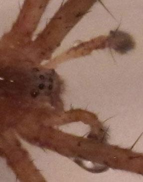 Nursery Web Spider? Worcester County MA - Pisaurina mira