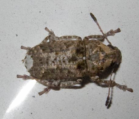 Anthribidae? - Toxonotus fascicularis - female