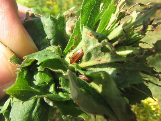 Goldenrod maggot - Rhopalomyia solidaginis