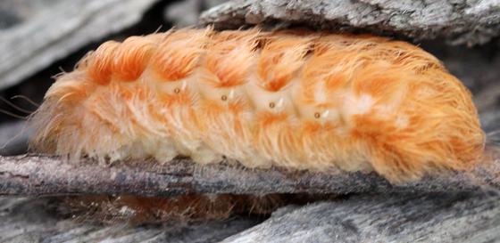 Orange Caterpillar - Megalopyge