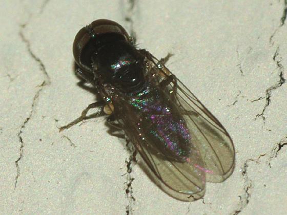 Big-headed Fly - Chalarus