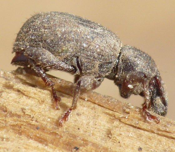 Broad-nosed Weevil? - Cercopeus skelleyi