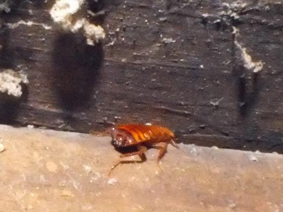 Cockroach - Parcoblatta