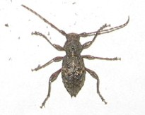 Cute Little Beetle (maybe a weevil?) - Plectrura spinicauda