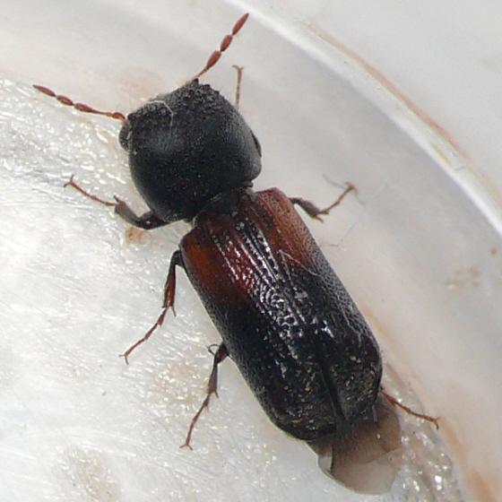 Powder post beetles geographic range