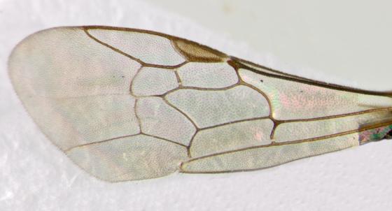 Halictidae, wing - Lasioglossum anomalum - male