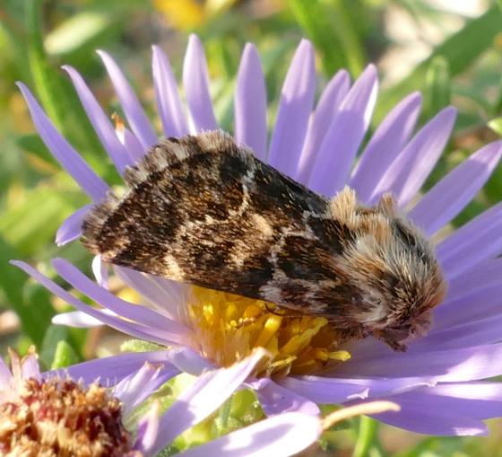 Northern Flower Moth - Schinia septentrionalis - female