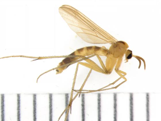 Ditomyiidae - lateral - Symmerus lautus - male