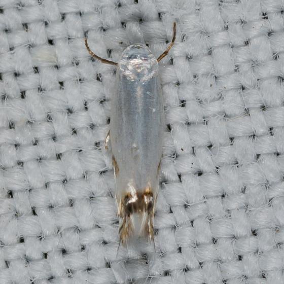 Paraleucoptera albella