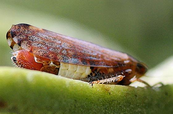 Some kind of hopper, Bay Area, CA - Fieberiella florii - female