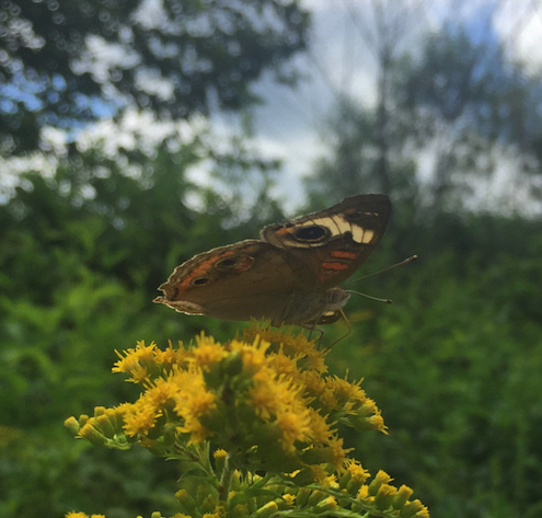 butterfly - Junonia coenia