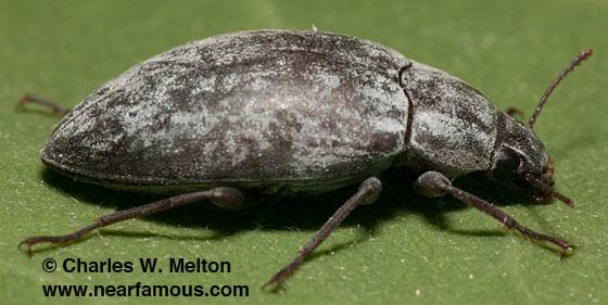 Beetle - Pechalius