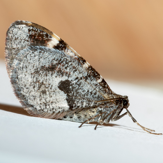 Stamnodes coenonymphata - male