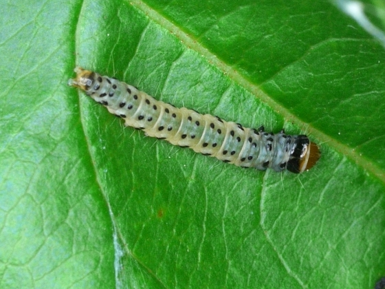 caterpillar - Anacampsis consonella