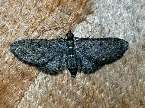 Eupithecia sp. Which?