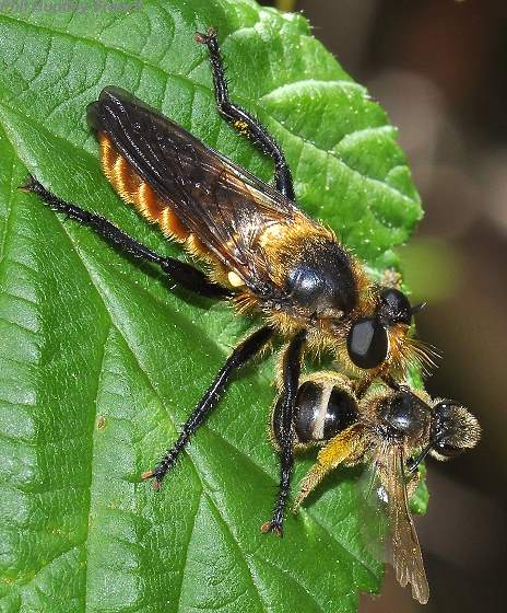 Robber Fly - Laphria ventralis - female