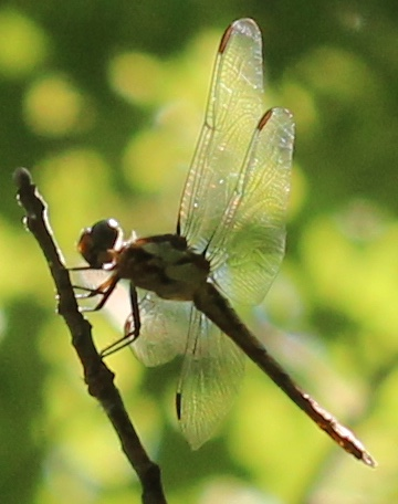 Libellula - female