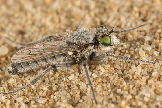 Lasiopogon littoris - male