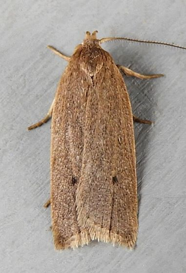 Pennsylvania Moth - Gonioterma mistrella