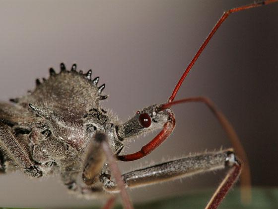 Wheel bug (portrait) - Arilus cristatus