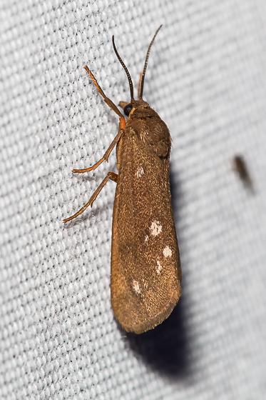 Virbia aurantiaca – Orange Holomelina Moth - Virbia aurantiaca