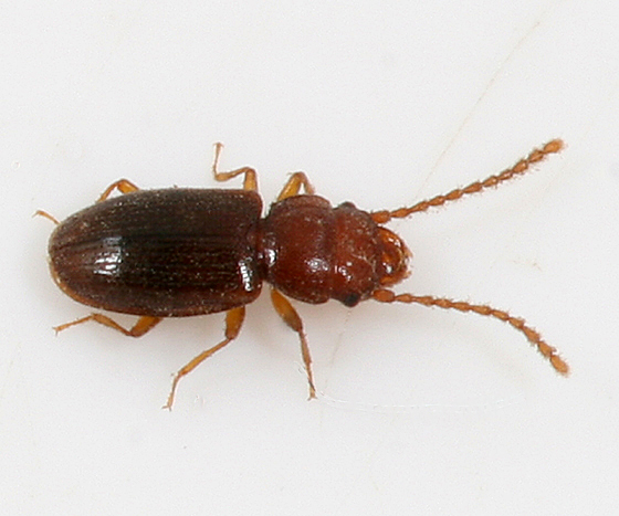 Small beetle with long antennae - Charaphloeus unnamed