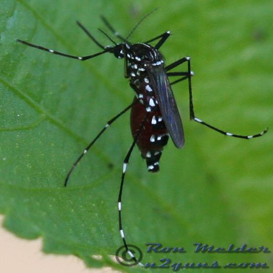 Asian Tiger Mosquito - Aedes albopictus - female