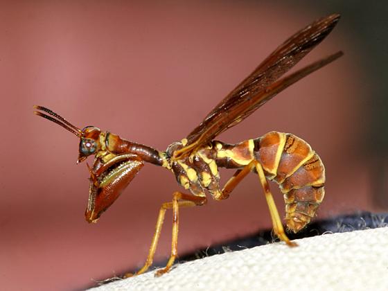 Wasp Mantidfly - Climaciella brunnea - male