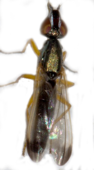 Diptera - Eumetopiella rufipes