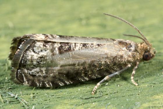 Moth - Grapholita packardi