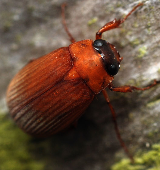 may beetle - Nipponoserica peregrina