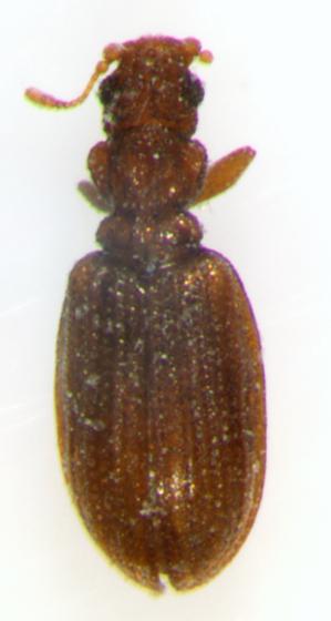 Latridiidae, dorsal - Cartodere constricta