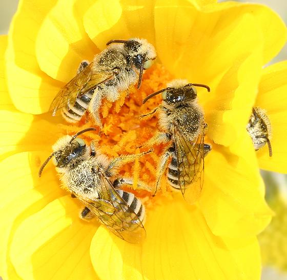Melittid Bees - Hesperapis - male
