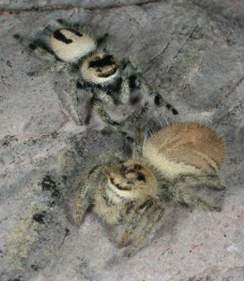 Phidippus tux - male - female
