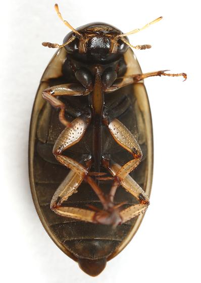 water scavenger beetle - Tropisternus lateralis