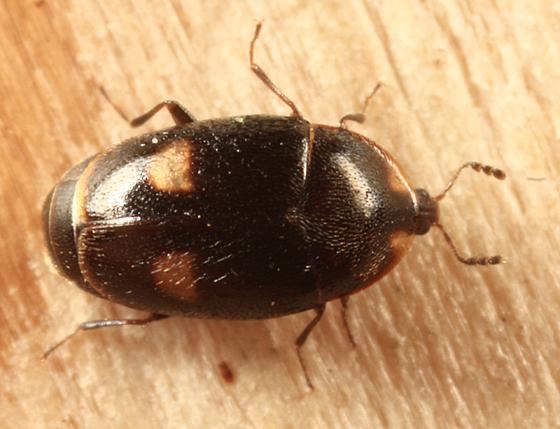 Minute Hooded Beetle - Clypastraea lunata