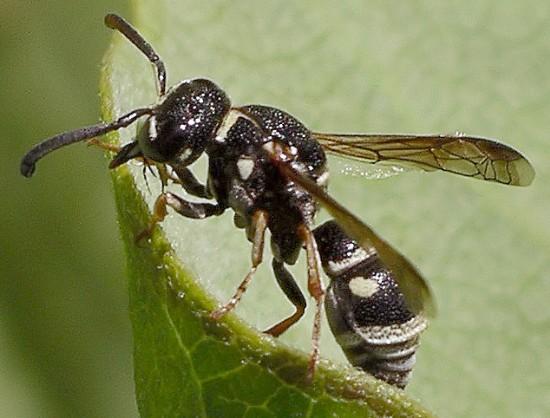 wasp - Stenodynerus fundatiformis - male