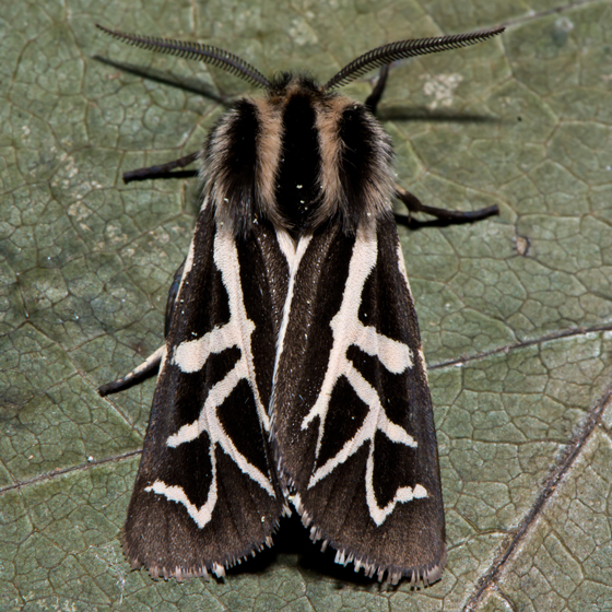 Unknown Moth - Apantesis williamsii