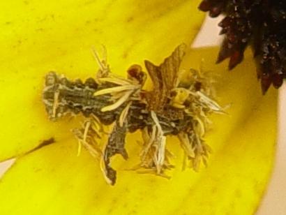 caterpillar - Synchlora aerata