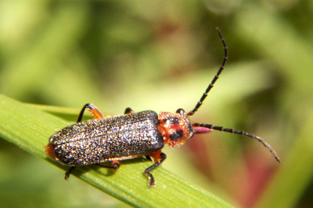 Soldier Beetle - Atalantycha bilineata