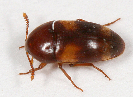 Orange-spotted Beetle - Holostrophus bifasciatus