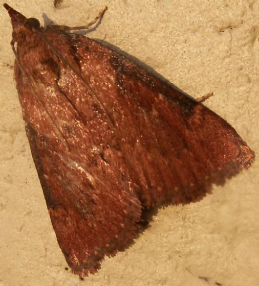 Crambidae? - Omphalocera