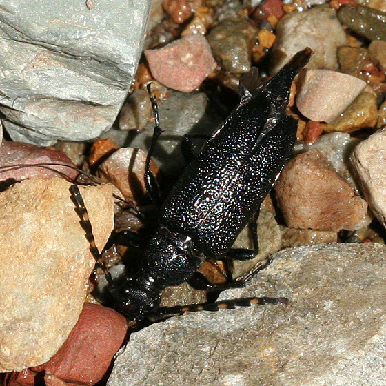 black long-horned beetle with banded antenna - Stictoleptura canadensis