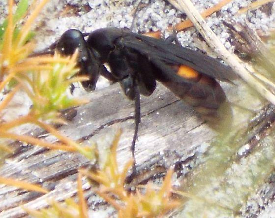 wasp - Poecilopompilus algidus