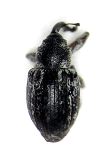 Smicronyx lineolatus - male